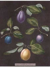 Plums poster print by George Brookshaw