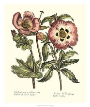 Framboise Floral IV poster print by Syndenham Edwards