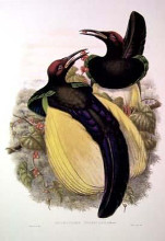 Gould Bird of Paradise IV poster print