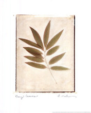 Bay Leaves poster print by Amy Melious