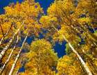 Aspen grove in fall colors, Maroon Bells, Snowmass Wilderness, Colorado poster print by Tim Fitzharris