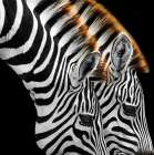 Zebras Grazing poster print by  Anonymous