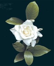 Gardenia Glory poster print by Rosemarie Stanford