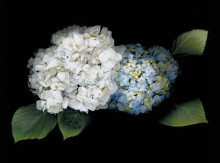 Hydrangea poster print by Rosemarie Stanford