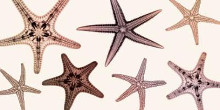 Starfish Collection (Sepia) poster print by Steven N Meyers
