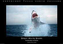 Great White Shark 1 poster print