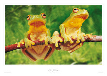 Tree-frogs poster print by Steve Parish