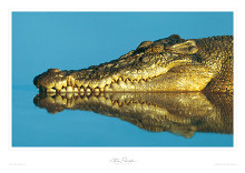 Estuarine Crocodile poster print by Steve Parish